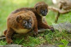 Netter Rot-aufgeblähter Lemur mit Schätzchen Stockfotografie