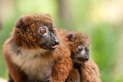 Netter Rot-aufgeblähter Lemur mit Schätzchen Lizenzfreies Stockbild