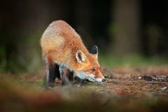 Netter roter Fox, Vulpes Vulpes im Fallwaldsch?nen Tier im Naturlebensraum Szene der wild lebenden Tiere von der wilden Natur fuc stockbild