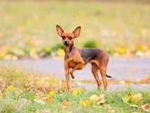 Netter roter Hund, der auf dem Herbsthintergrund steht Stockbild