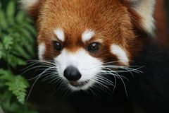 Netter roter Panda in den wild lebenden Tieren Stockfotografie