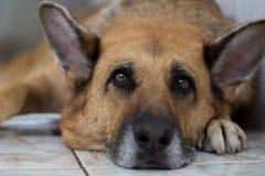 Netter Schäferhund Stockfotos