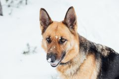 Netter Schäferhund im Schneewald im Winter Stockbild