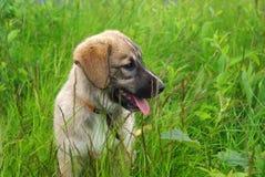 Netter Schätzchenhund im Gras Stockfotografie