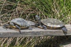 Netter Schildkrötenrest an der Sonne Lizenzfreie Stockfotografie