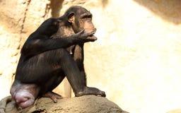 Netter Schimpanse Stockbilder