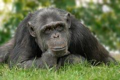 Netter Schimpanse mit reflektierender Lage Lizenzfreie Stockfotografie
