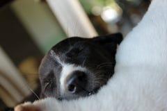 Netter Schlafenwelpe Lizenzfreies Stockbild