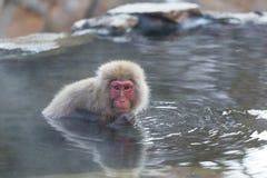 Netter Schnee-Affe onsen herein Lizenzfreie Stockfotografie