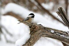 Netter Schwarz-Mit einer Kappe bedeckter Chickadevogel auf einem Zweig im Schnee. Stockbild