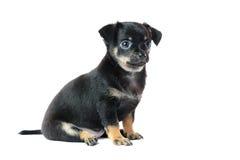 Netter schwarzer Chihuahuawelpe Lizenzfreie Stockbilder