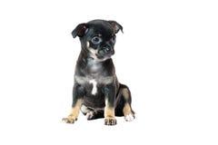 Netter schwarzer Chihuahuawelpe Lizenzfreie Stockfotos