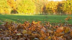 Netter schwarzer Hund springt von einem Stapel von Blättern heraus stock video