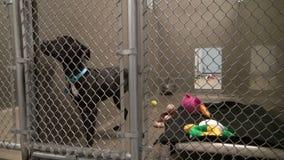 Netter schwarzer Welpe, der Endstück innerhalb des Käfigs wedelt stock video footage