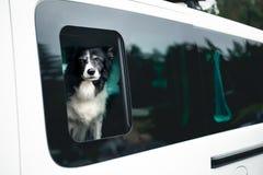Netter Schwarzweiss-Hund, der aus dem Auto-Fenster heraus schaut Schwarzweiss--Border collie im Auto stockbild