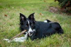 Netter Schwarzweiss-Hund, der draußen mit Stock auf dem Feld während des sonnigen heißen Sommertages spielt Lizenzfreies Stockbild
