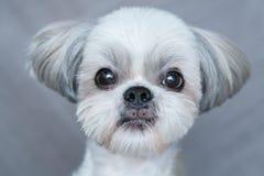 Netter shih-tzu Hund lizenzfreies stockbild