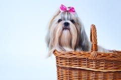 Netter shih tzu Hund stockbild