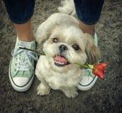 Netter shitzu Hund mit stieg nahe bei dem Eigentümer -- zusammen gehen lizenzfreies stockbild