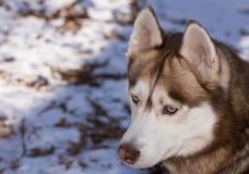 Netter sibirischer Husky, der spielerisch ist Lizenzfreies Stockfoto