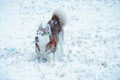 Netter sibirischer Husky, der spielerisch ist stockbilder