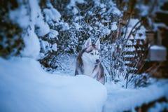 Netter sibirischer Husky im wilden stockbilder