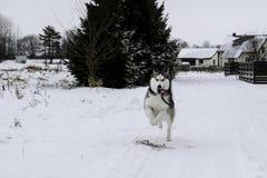 Netter sibirischer Husky spielt draußen, im Schnee stockfotos