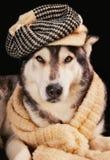 Netter sibirischer Schlittenhund, der einen Weinlesehut trägt lizenzfreie stockbilder