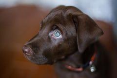 Netter Sitzenunschärfehintergrund grünen Auges Welpe Schokoladenlabradors lizenzfreie stockbilder