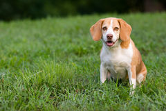 Netter Spürhund, der Sie überwacht Lizenzfreie Stockbilder