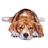 Netter Spürhund Schlafens Stockfotografie