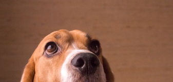 Netter Spürhund tricolour Lizenzfreies Stockbild
