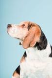 Netter Spürhundhund Lizenzfreies Stockfoto