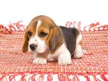 Netter Spürhundwelpe auf rotem Teppich Lizenzfreies Stockbild