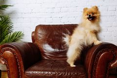 Netter Spitzhund, der im Lehnsessel sitzt lizenzfreie stockfotografie