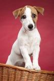Netter Steckfassung Russell-Terrier im Weidenkorb lizenzfreies stockfoto