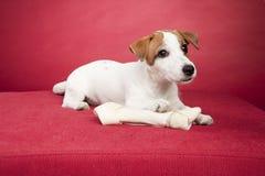 Netter Steckfassung Russell-Terrier mit dem Knochen Stockfotografie