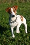 Netter Steckfassungsrussel-Terrier Stockfoto