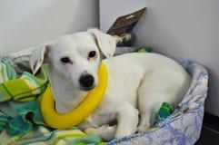 Netter Steckfassungsrussel-Terrier Lizenzfreies Stockbild