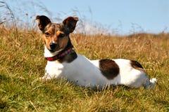 Netter Terrier Jack-Russel, der beim Gras-Schauen liegt lizenzfreie stockfotos