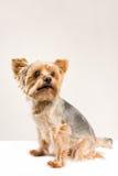 Netter trauriger gegenübergestellter Hund Lizenzfreies Stockfoto