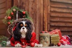 Netter unbekümmerter Spanielhund Königs Charles im roten Mantel Weihnachten am gemütlichen Landhaus feiernd lizenzfreies stockfoto