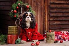 Netter unbekümmerter Spanielhund Königs Charles im roten Mantel Weihnachten am gemütlichen Landhaus feiernd lizenzfreie stockfotos