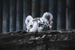 Netter und entzückender junger weißer Tiger Stockfotografie