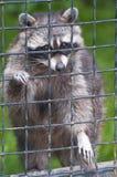 Netter Waschbär in der Gefangenschaft Stockfotos