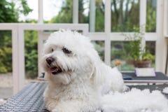 Netter weißer Hund, der nahe bei dem Stapel des Haares liegt stockfoto