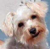 Netter weißer Hund mit dem Kopf gespannt Stockfotografie