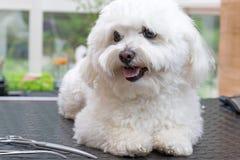 Netter weißer Hund mit Scheren stockbild