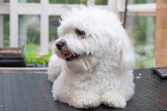 Netter weißer Hund wartet auf das Pflegen Stockfoto