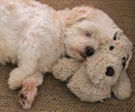 Netter weißer Lhasa Apso-Hund, der auf einem Hund schläft stockbild